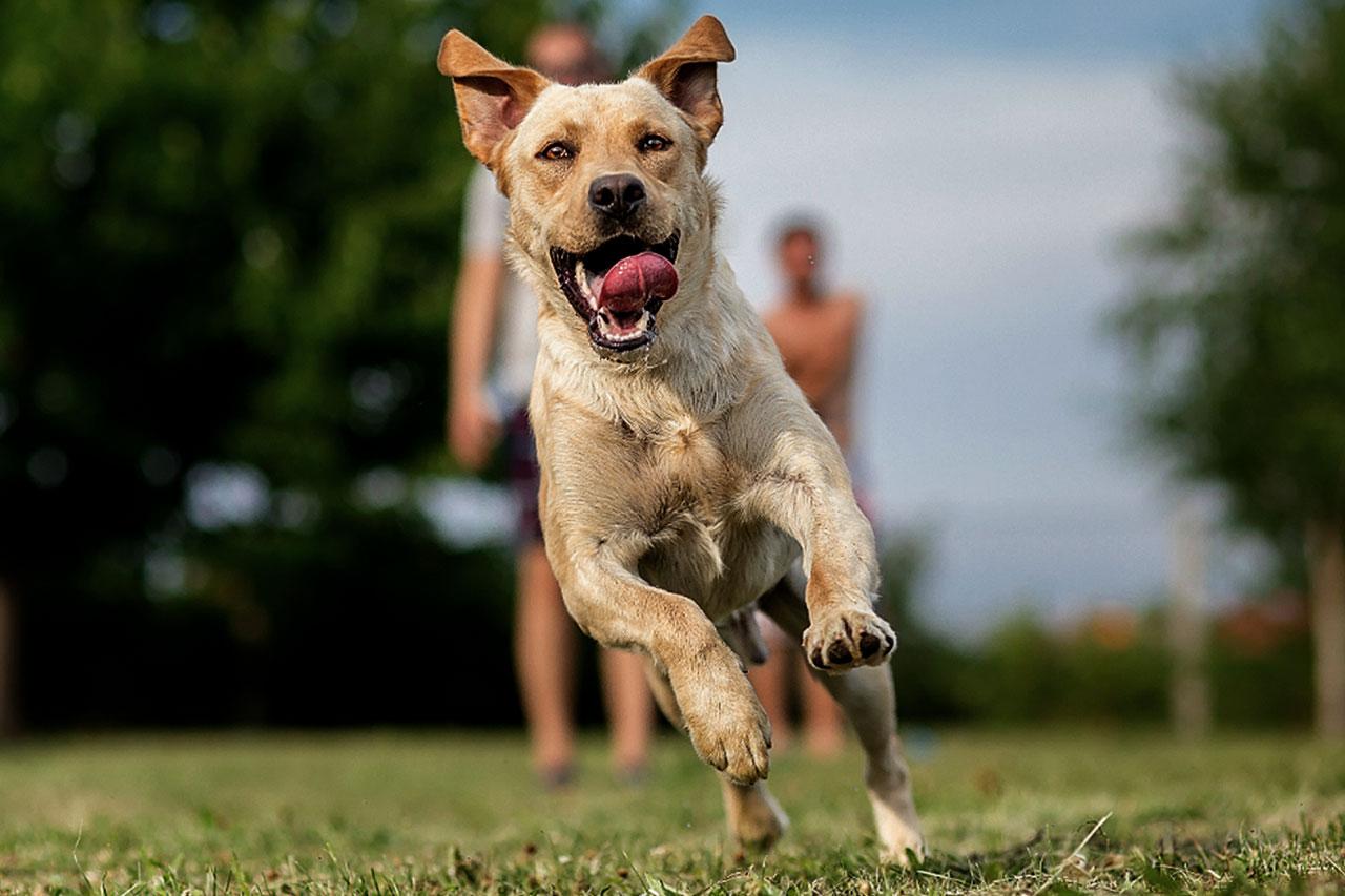 Na imagem, há um cachorro correndo em primeiro plano. Ao fundo e desfocado, existem duas pessoas.